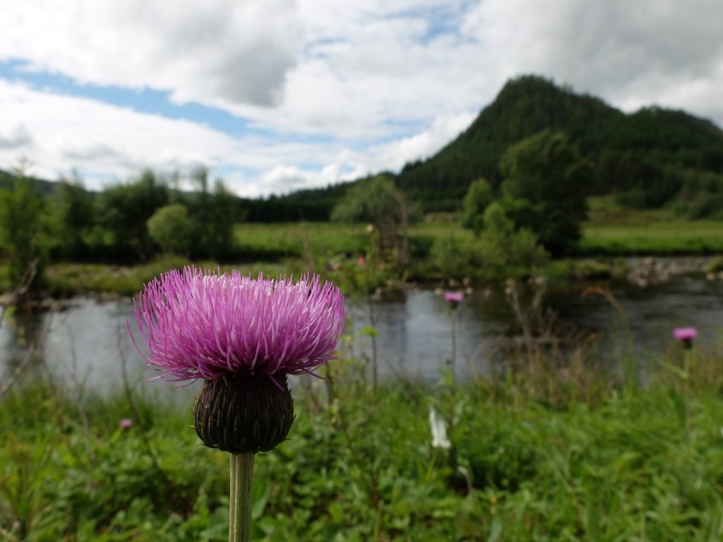 Thistle on The East Highland Way
