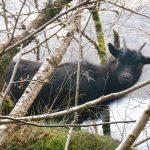 A single wild goat (kid) in the trees by Loch Lomond.