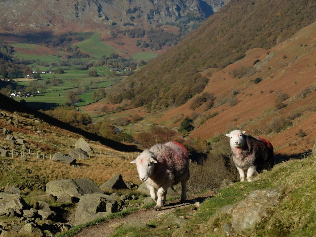 Herdwick Sheep - Coast to Coast England