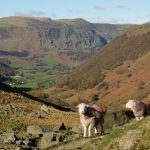 Herdwick Sheep in the Lake District on The Coast to Coast Path