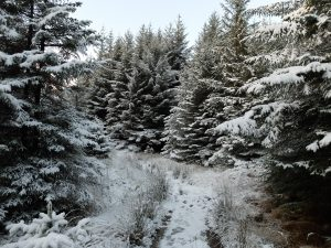 Large Pine Trees Covered in Snow