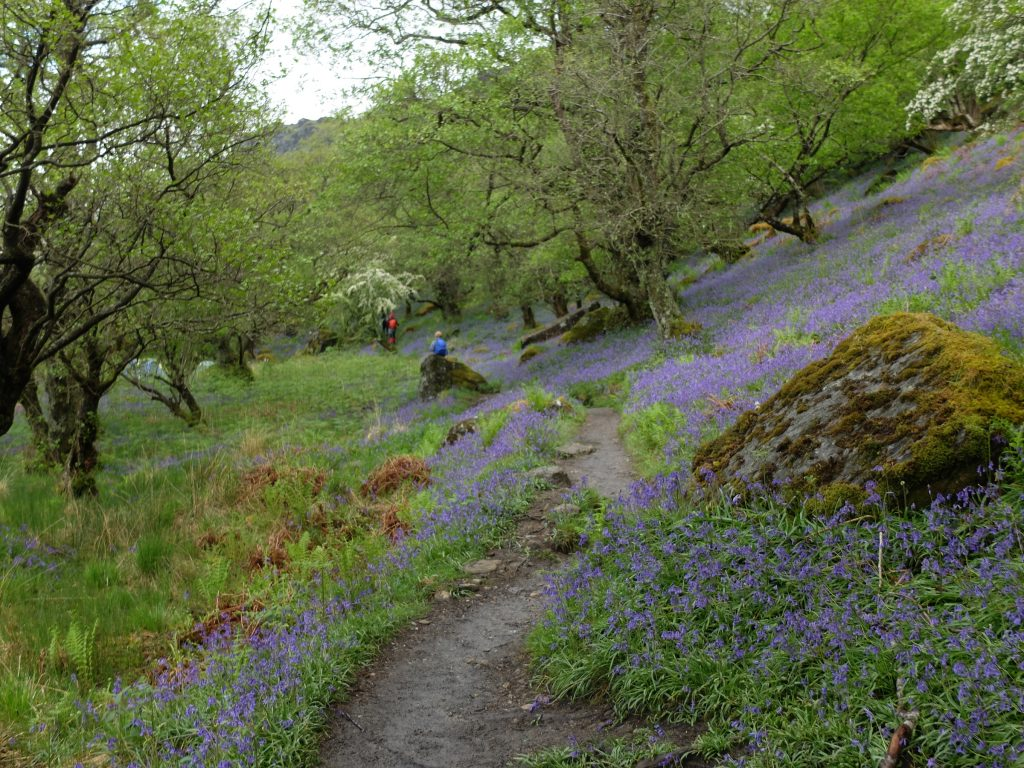 Bluebells on The West Highland Way