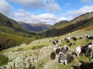 Herdwick on the fells