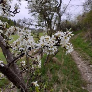 Blackthorn blossom bridleway
