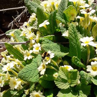 bees primula vulgaris