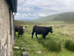 Knockdamph cows